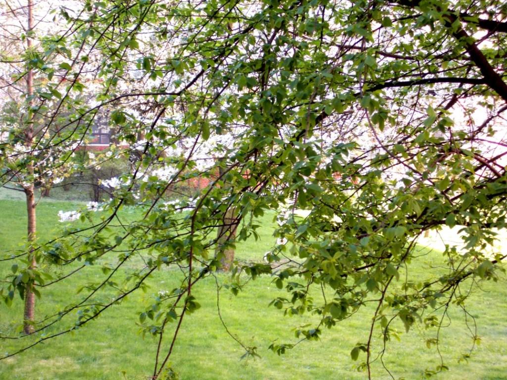 Blühende Bäume als Allergieauslöser im Frühling